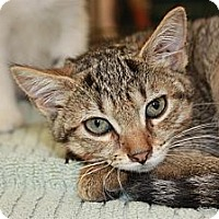 Adopt A Pet :: Filly (PP) - Little Falls, NJ