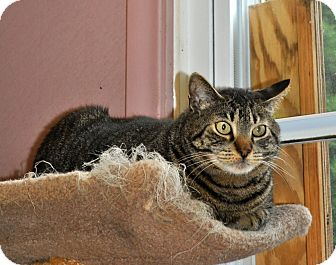 Domestic Shorthair Cat for adoption in West Hartford, Connecticut - Joe