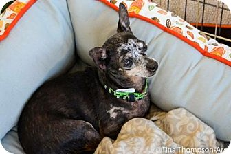 Chihuahua Dog for adoption in Anaheim, California - Moose