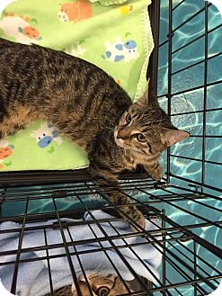 Domestic Shorthair Kitten for adoption in Mansfield, Texas - Fiona