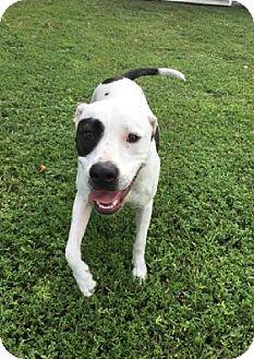 American Bulldog Mix Dog for adoption in Boca Raton, Florida - Lexi
