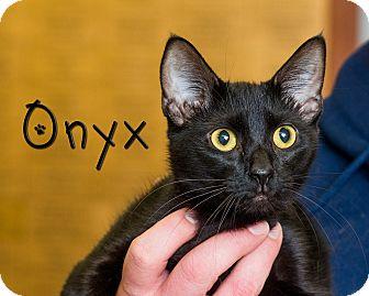 Domestic Shorthair Cat for adoption in Somerset, Pennsylvania - Onyx