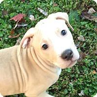 Adopt A Pet :: Copper - Cincinnati, OH
