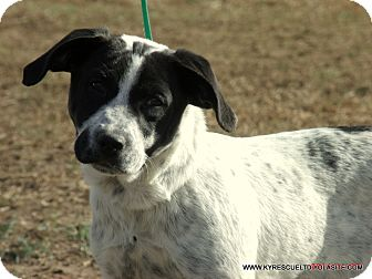 Blue Heeler/Great Pyrenees Mix Puppy for adoption in parissipany, New Jersey - Popcorn