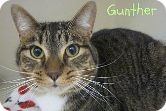 Domestic Mediumhair Cat for adoption in Menomonie, Wisconsin - Gunther