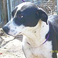 Border Collie/Anatolian Shepherd Mix Dog for adoption in Mexia, Texas - Roxy