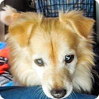 Adopt A Pet :: Cody - Gilbert, AZ