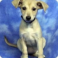 Adopt A Pet :: CEECEE - Westminster, CO