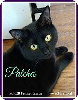 Domestic Shorthair Cat for adoption in Gonic, New Hampshire - Patches