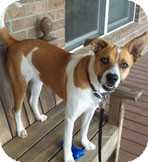 Australian Cattle Dog Mix Dog for adoption in Conway, Arkansas - Charlotte