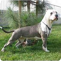 Adopt A Pet :: Nikki - El Segundo, CA