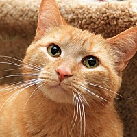 Adopt A Pet :: Fred- FIV+ - Sterling Heights, MI