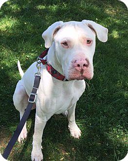 Dogo Argentino Dog for adoption in West Grove, Pennsylvania - Bruno
