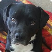 Beagle/Labrador Retriever Mix Dog for adoption in Pottsville, Pennsylvania - Carusso-URGENT