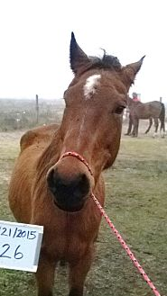 Quarterhorse Mix for adoption in Hitchcock, Texas - Satin
