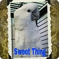 Cockatoo for adoption in Red Oak, Texas - Sweet Thing