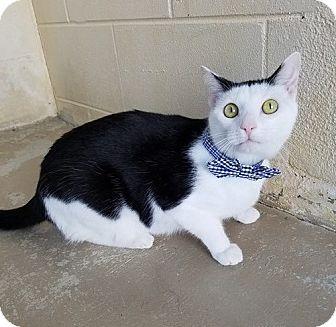 Domestic Shorthair Cat for adoption in Umatilla, Florida - Elton
