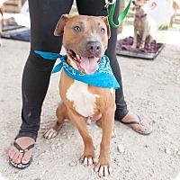 Pit Bull Terrier/Hound (Unknown Type) Mix Dog for adoption in Calgary, Alberta - Neo