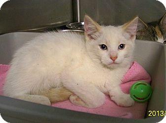 Domestic Shorthair Kitten for adoption in Dover, Ohio - Dickens
