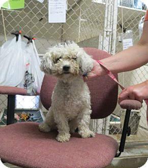 Poodle (Standard)/Shih Tzu Mix Dog for adoption in Geneseo, Illinois - Maddie
