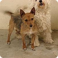 Adopt A Pet :: Scrappy - Fort Scott, KS