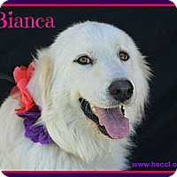 Adopt A Pet :: Bianca - Plano, TX