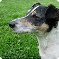 Adopt A Pet :: Jack Russell - Acme, PA