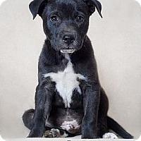 Adopt A Pet :: Kovu - Phoenix, AZ