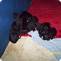 Adopt A Pet :: Doodle puppies - moscow mills, MO