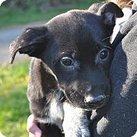 Adopt A Pet :: Pepper - Tumwater, WA