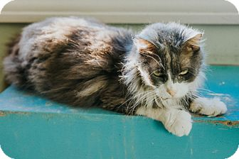 Domestic Mediumhair Cat for adoption in Indianapolis, Indiana - Mabeline