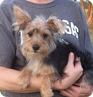 Yorkie, Yorkshire Terrier Puppy for adoption in Greenville, Rhode Island - Lester