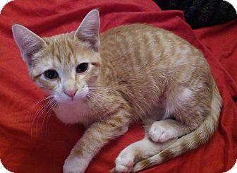 Domestic Mediumhair Cat for adoption in Owatonna, Minnesota - Lois