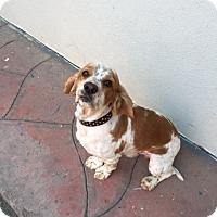 Adopt A Pet :: Kash - Santa Barbara, CA