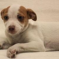Adopt A Pet :: Norman - Modesto, CA