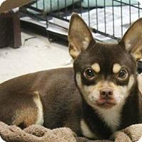 Adopt A Pet :: Choco - East Randolph, VT