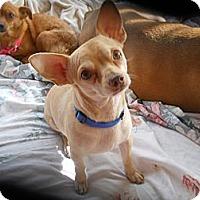 Adopt A Pet :: LittleBoy aka ChiChi - Charlotte, NC