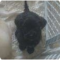 Adopt A Pet :: Diana Spencer - Phoenix, AZ