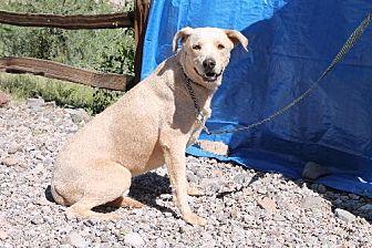 Labrador Retriever Dog for adoption in Golden Valley, Arizona - Topeka