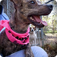 Adopt A Pet :: Tiger Lily - Burleson, TX