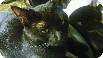 Domestic Shorthair Cat for adoption in Centerton, Arkansas - Carina