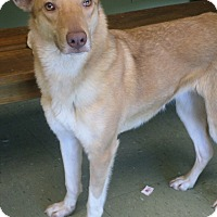Australian Shepherd/Collie Mix Dog for adoption in Cleveland, Mississippi - Aurora +