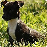 Adopt A Pet :: Skylar - Brattleboro, VT