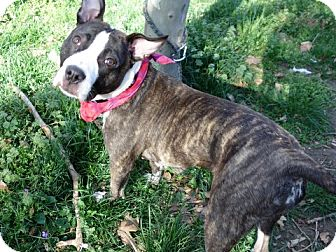 American Staffordshire Terrier Mix Dog for adoption in Ridgefield, Connecticut - Chloe