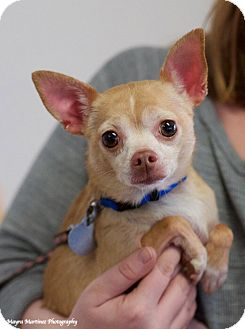 Chihuahua Mix Dog for adoption in Knoxville, Tennessee - Tamara