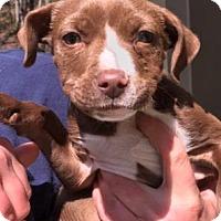 Adopt A Pet :: Johnny - Cashiers, NC
