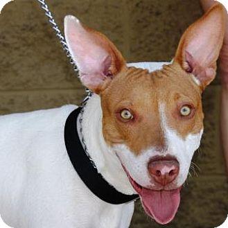 Pharaoh Hound/Terrier (Unknown Type, Medium) Mix Puppy for adoption in Gilbert, Arizona - Henry