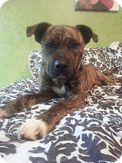 Boxer Mix Dog for adoption in Hilliard, Ohio - Rue