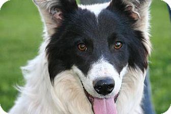 Border Collie Mix Puppy for adoption in Avon, New York - Ranger