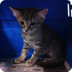 Domestic Shorthair Kitten for adoption in Gilbert, Arizona - Cheyenne